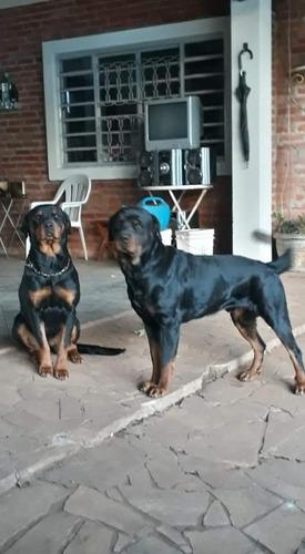 Imagem 1 de 5 de Filhotes De Rottweiler A Venda