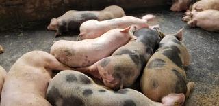 Cerdo En Pie Sin Intermediario Pernil Lechon Hígado Ahumado