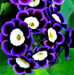 100 Sementes Flores Bonsai Petunia Jardim