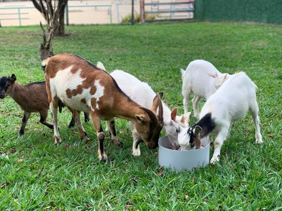 Mini Cabras