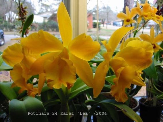Orquídea Potinara 24 Karat Lea (muda)
