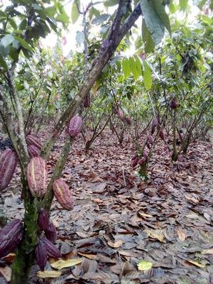 Se Vende Terreno De Cacao De 14 Ha Con Casa ( Agua Y Luz)