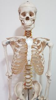 Esqueleto Humano De Acrílico 1,70 Mts