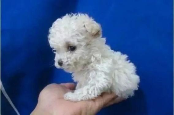 Cachorros Caniches Mini Toy