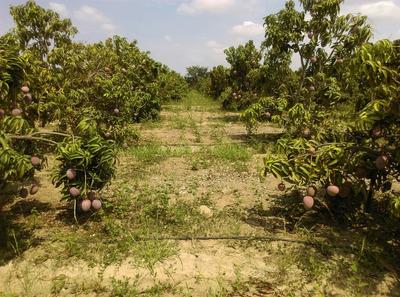 Fundo Agrícola Con Plantaciones De Mango Kent