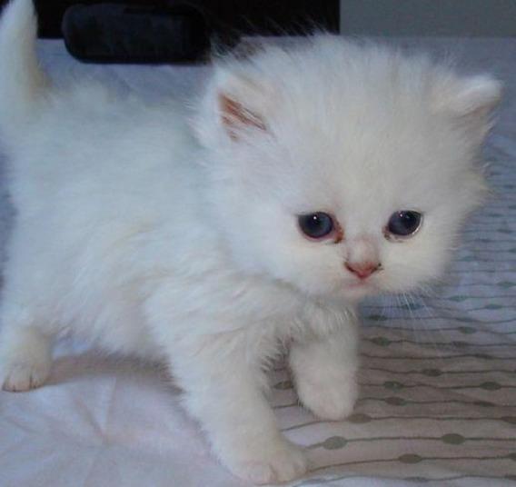Gato Persa Branco