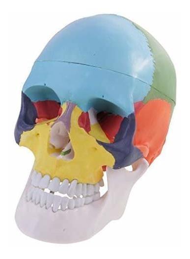 Magideal Modelo De Cabeza Humana Cráneo Esqueleto