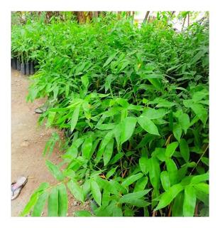 Plantones De Bambú