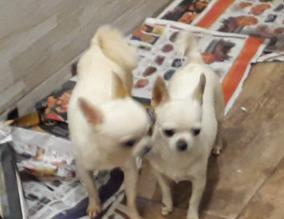Fotos Dos Chihuahua