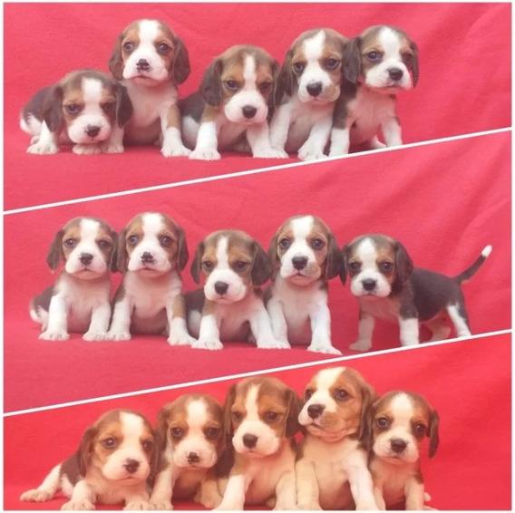 Beagle Hermosos Cachorros Miniatura