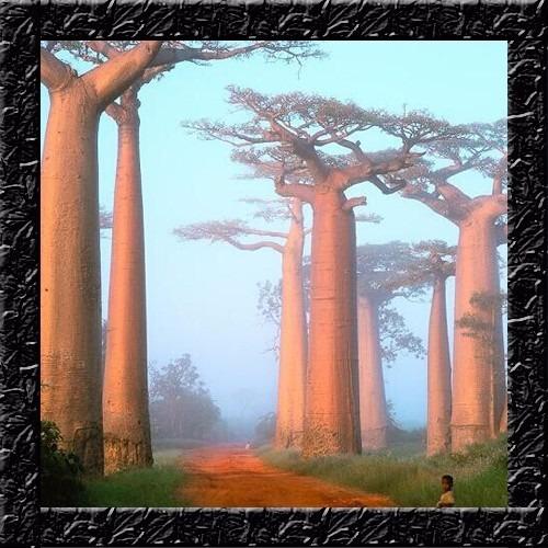 Imagem 1 de 9 de Baoba Adansonia Digitata - Sementes Para Mudas Ou Bonsai