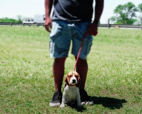 Cachorro Beagle Tricolor Macho Fca 13  Mini Enano! Leer Todo