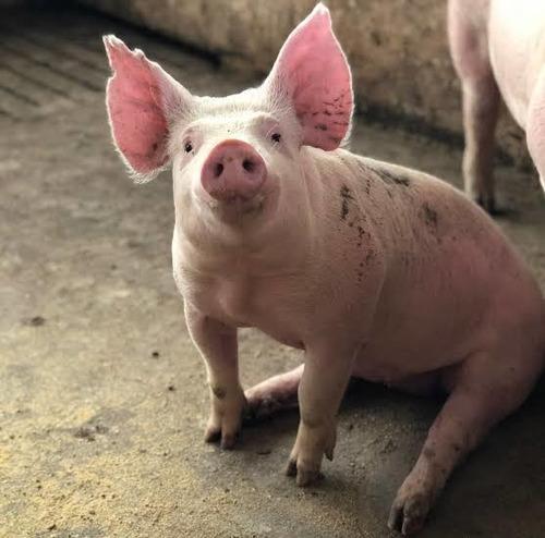 Porcos De Raça