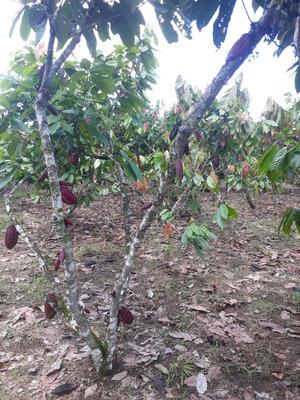 Venta De 2 Cuadras De Cacao