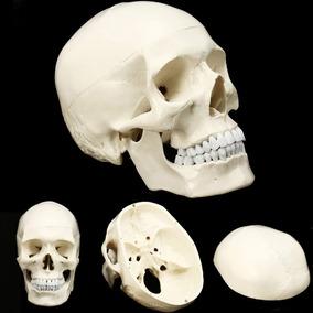 Modelo Cranio Anatomia Corpo Humano - Crânio / Mandibula