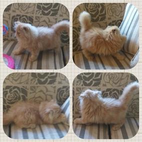 Gato Persa Red