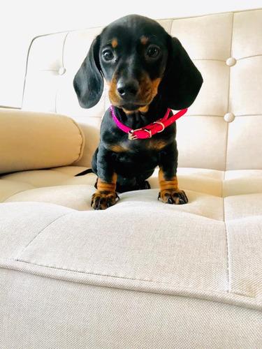 Tiernos Cachorritos Salchicha Dachshund Mini