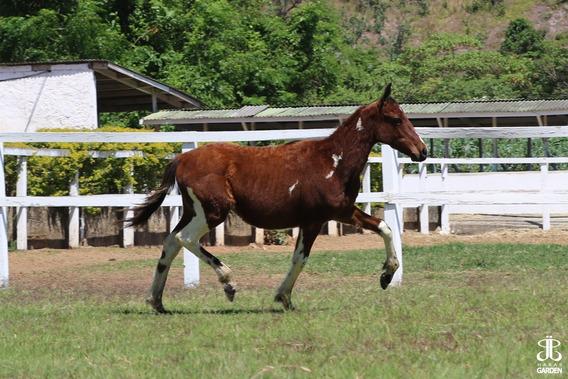 Potro Cavalo Mangalarga Paulista Pampa - Haras Garden