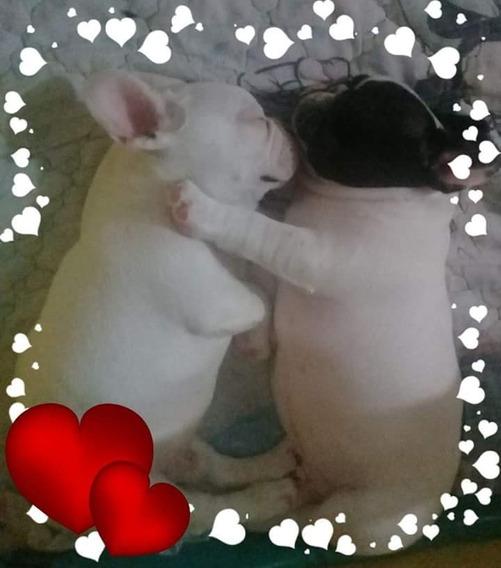Bulldog Frances Hembras Y Machos