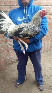 Gallos Peruanos De 8 Kilos, Huevo Fertil Gallo Navajero