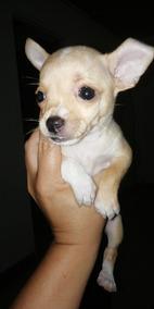 Chihuahuas Machos