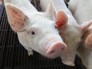 Cerdos Light Carne De Primera Al Mayor Faenado Por Canal