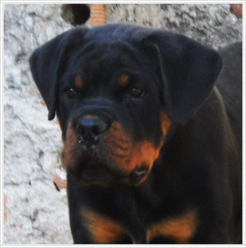 Filhotes Rottweiler , Genética Temperamento E Conformação.