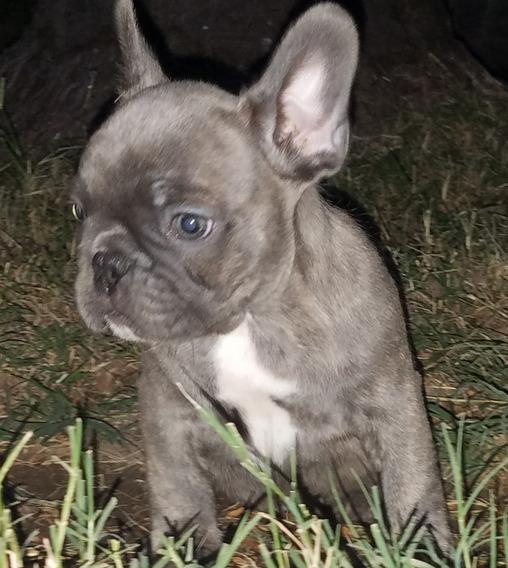 Bulldog Francès Cachorros Machos Y Hembras Con Excelente Fca