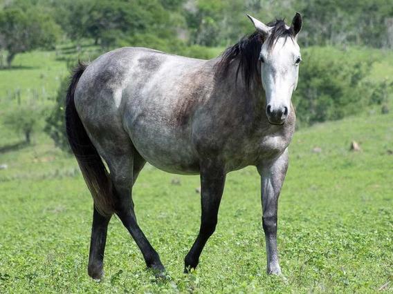 Égua Tolltac Meio Sangue Registrada Quarto De Milha