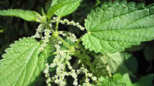 Ortiga Planta