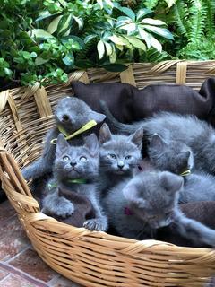 Gatitos Azul Ruso Padres A La Vista , 100% Legítimos.