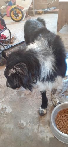 Imagem 1 de 4 de Cachorro De Raça Border Collie