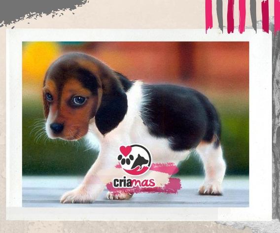 Beagle San Valentín Criamas