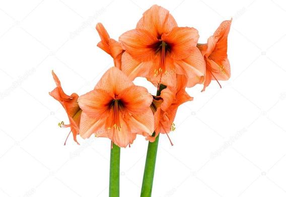 Bulbos De Flores | Amarílis - Amaryllis Orange 01 Unidade