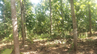 Vendo Finca Toda Plantada De Teca Ubicada En Miraflores