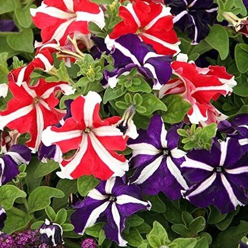 50 Semillas Flor Petunia Mezcla + Obsequio Germinación