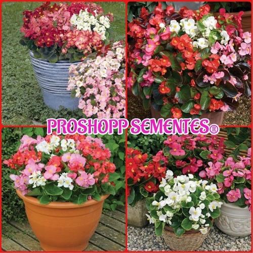 1400 Sementes Da Flor Begonia Sempre Florida Suculenta