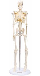 Esqueleto Humano ´para Estudo De Anatomia 45cm Com Suporte