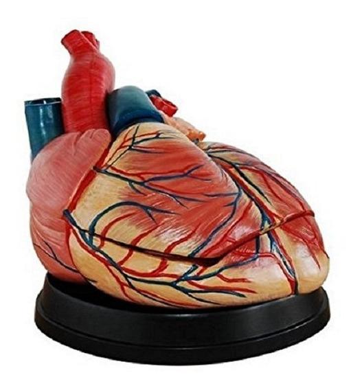 Corazon Humano Modelo Anatomico Desarmable Cardiologo Jumbo