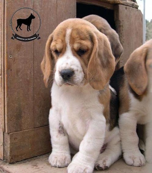 Cachorros Beagle Tricolor Genetica Unica 13 Pulgadas Cuotas