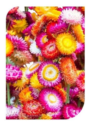 Sementes De Helichrysum Sempre-viva Sortida Flor