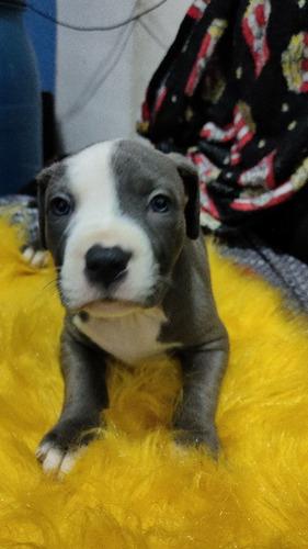 Imagem 1 de 3 de Filhote Pit Bul Blue Nose