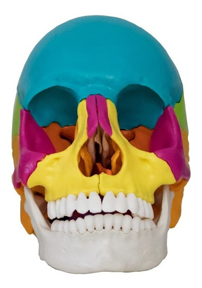 Cranio Didatico Desmontavel 22 Partes Anatomical Plus Ap015