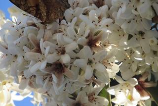 50 Sementes Louro Pardo (cordia Trichotoma) - Árvore Nativa