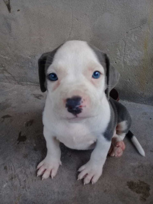 Vendo O Permuto Cachorra Pitbull Blue Nose