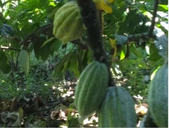 Finca De Cacao En Sabana Grande De Boyá