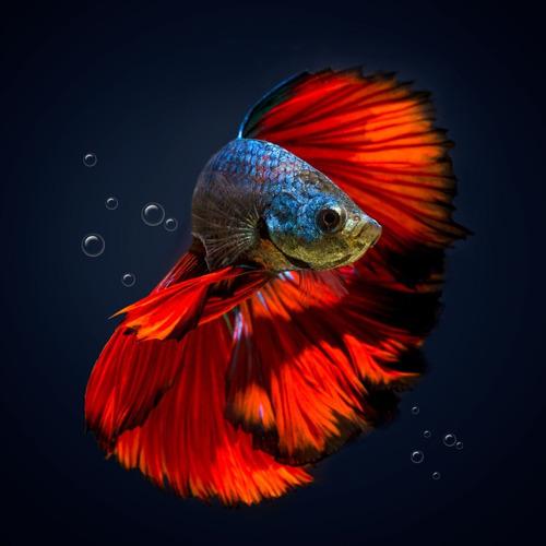 Imagen 1 de 1 de Pez Betta Macho Aquavida Diferentes Colores Splender