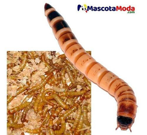 Zophobas Zofobas Larvas Alimento Vivo Peces Anfibios Reptil