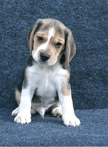 Cachorros Beagle Tricolor - Ultimos 2 Machitos