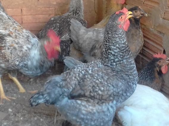 Ovos Galados De Galinhas Melhoradas Com Indio Gigante